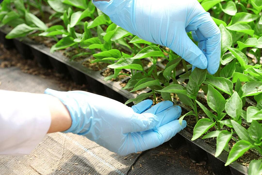 personne gantée touchant des plants